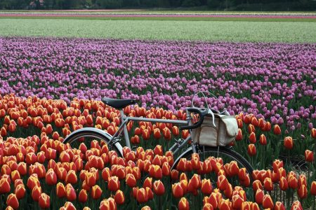 a bicycle on a dutch tulip farm