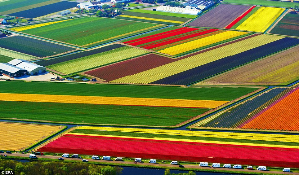 amazing tulip field in holland